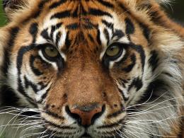 Sumatran-Tiger-Hero