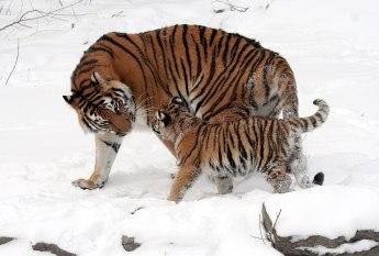 1280px-Panthera_tigris_altaica_13_-_Buffalo_Zoo